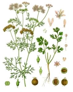 Coriander Botanical Chart by Koeh