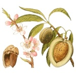 Sweet almond flower and fruit