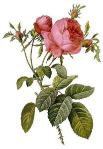 Rosa Centifolia Watercolour by Pierre-Jean Redoute