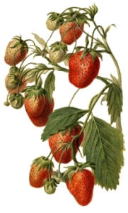 1890 Watercolour of Strawberries by Deborah Griscom Passmore