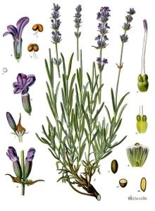 Franz Eugen Koehler - Lavender Botanical Chart