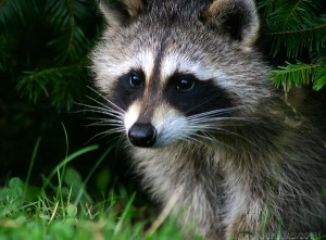 Raccoon Close Up