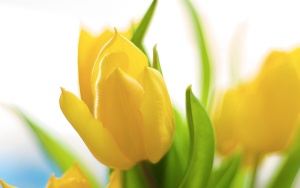 Spring Flowers - Yellow Tulips