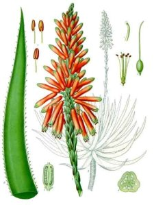 Aloe Plant - Köhler Medizinal Pflanzen