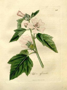 White Mallow Botanical Drawing Woodville, Hooker, Spratt, Medical Botany 3rd edition 1832